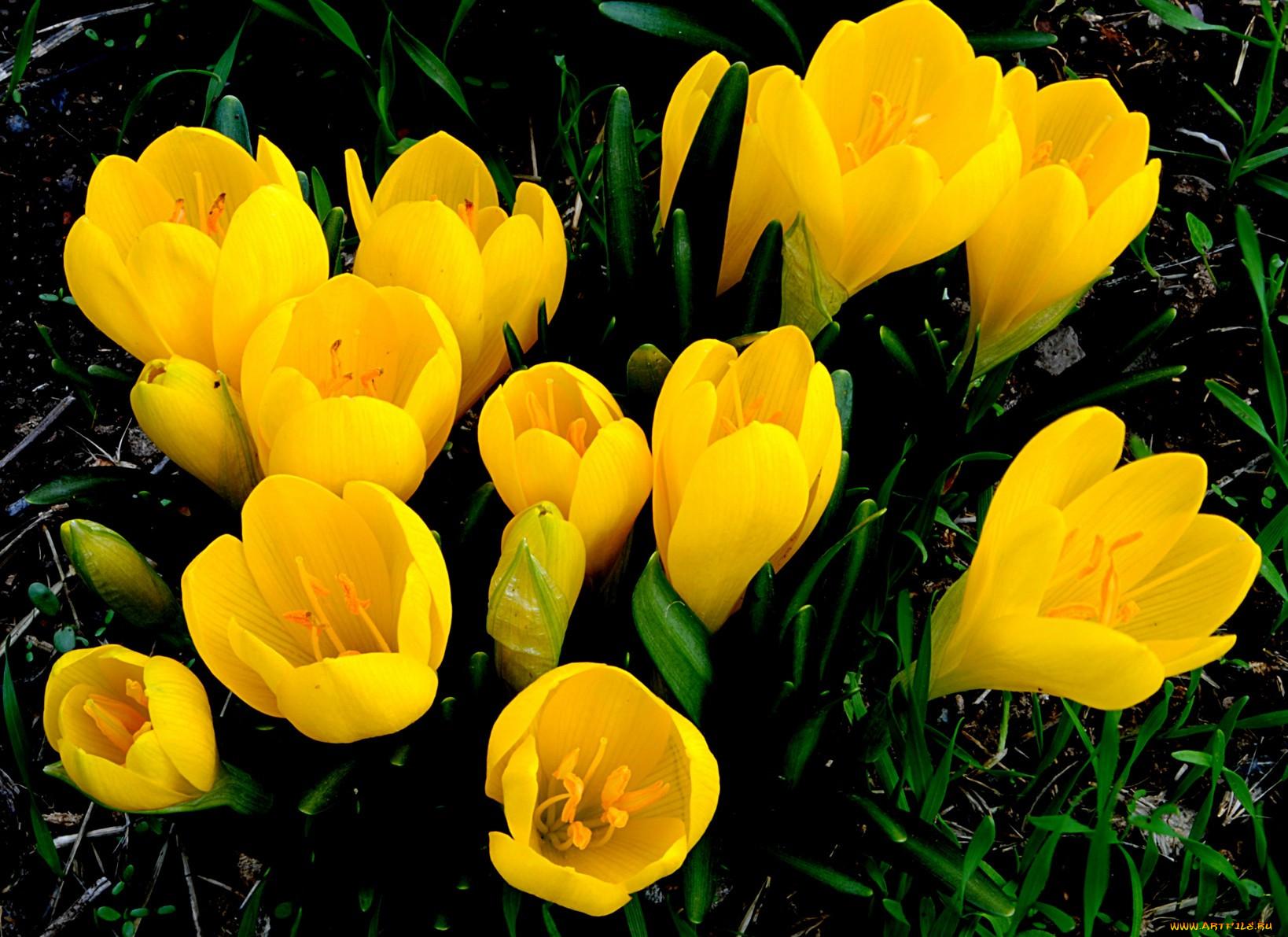 Крокус фиолетовый нарцисс желтый